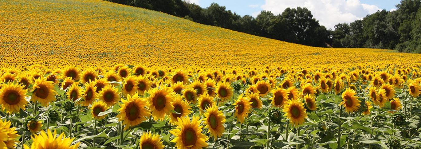 Sunflowers in the countryside of Southern France